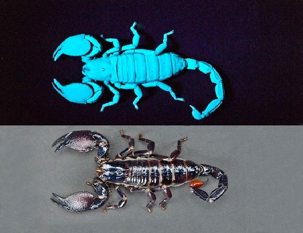 Scorpions-Amazing Bioluminescent Organisms