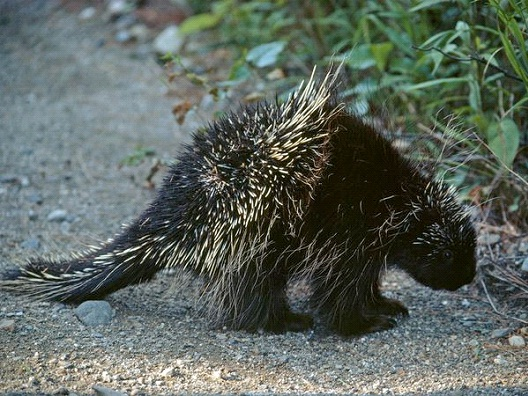 sexual Relations With Porcupine-Dumbest Laws In Florida