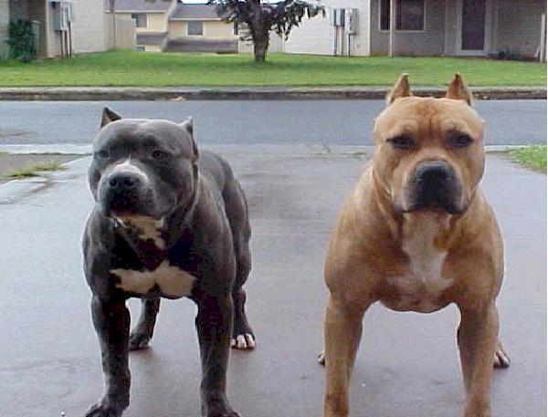 Pitbull Most Aggressive Dog Breeds