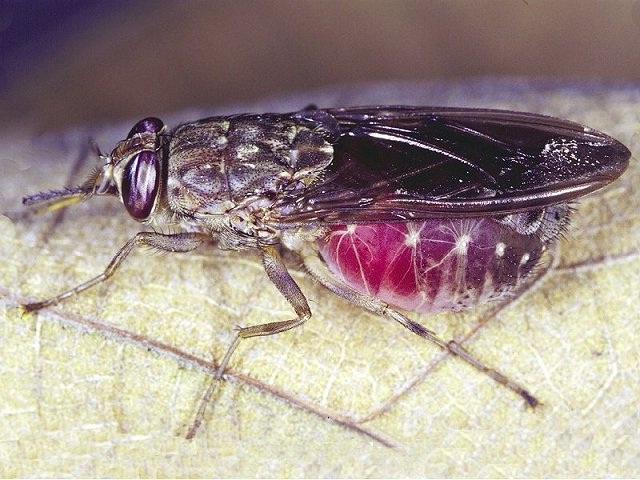 Tsetse fly-Deadliest Insects