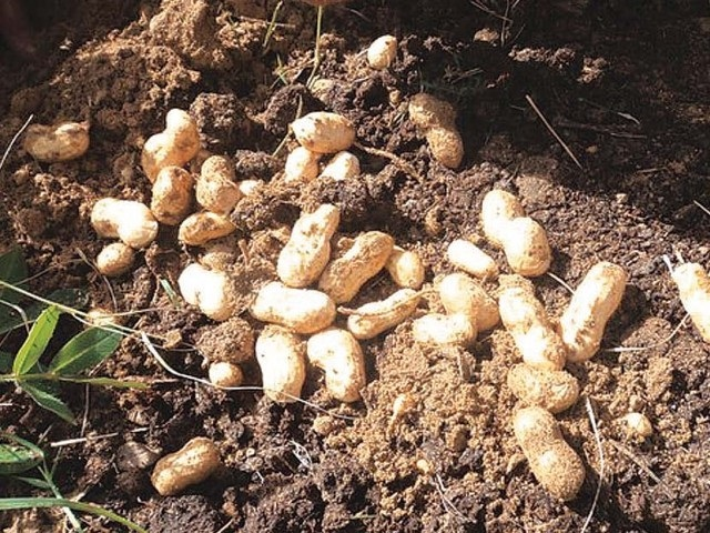 Peanuts-Some Favorite Fruits And Vegetables And How They Are Grown