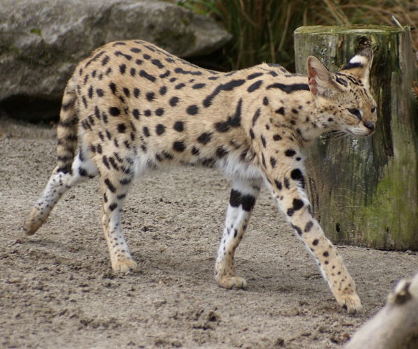 Serval-Unusual Pets That Are Legal To Own