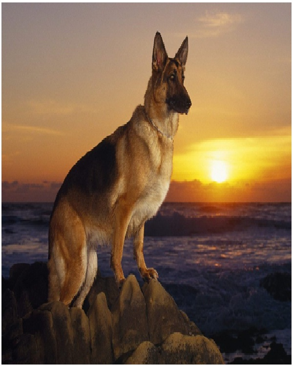 German Shepherd-Most Expensive Dogs In The World