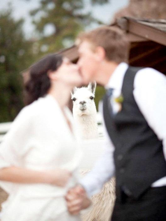 I Llama You-Best Wedding Photo Bomb
