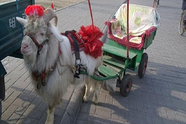 Chinese Sheep Taxi-Most Awesome Taxis