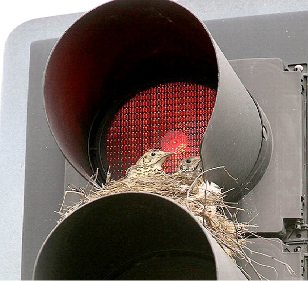 On A Streetlight-Most Unusual Places For A Bird's Nest
