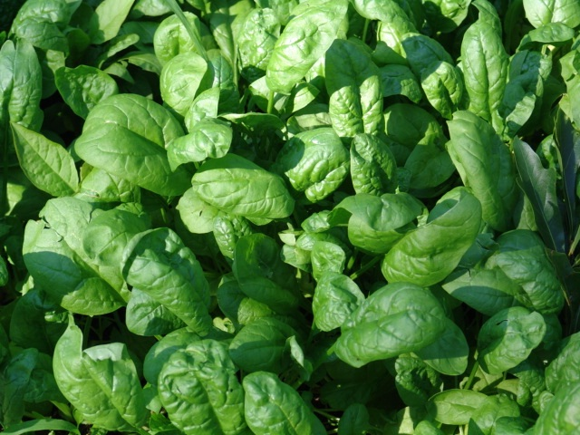 Spinach-Best Cancer Preventing Foods