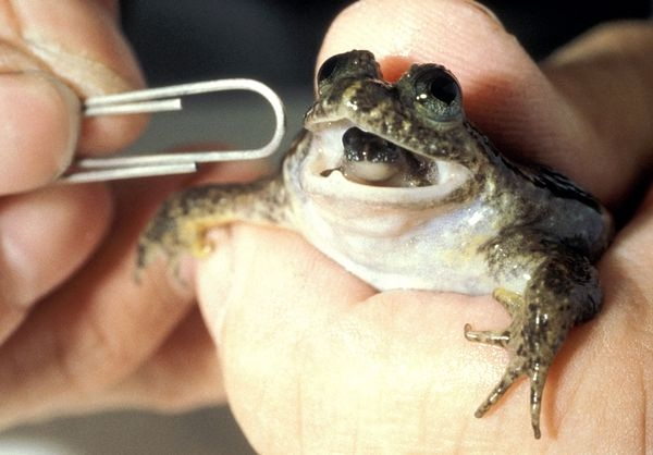 Gastric brooding frogs-Extinct Animals That Science Could Bring Back From The Dead