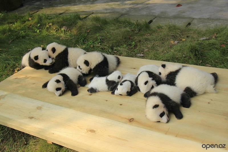 Nap Time-15 Images That Show, You Must Visit A Baby Panda Daycare Once