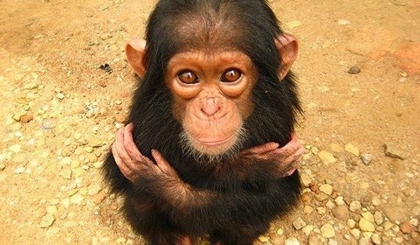 Chimp-Adorable Baby Animals