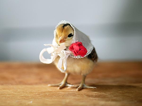 Chick-Adorable Baby Animals