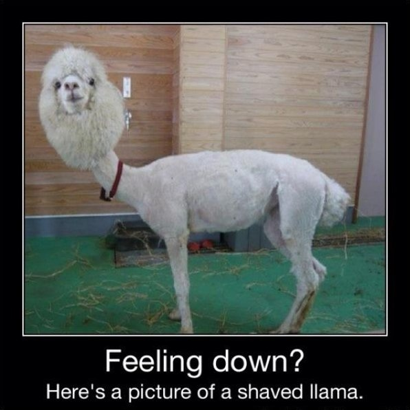 A shaved llama-This Week's WTF Photos
