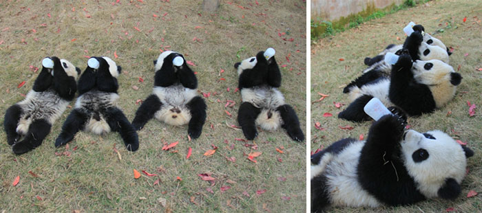 They are Cute No Matter Where They are-15 Images That Show, You Must Visit A Baby Panda Daycare Once