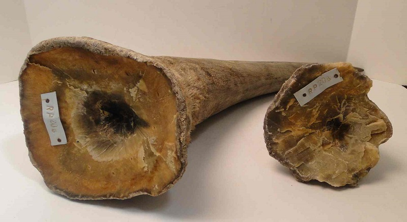 Rhino Horn - 0 / gram-15 Most Rare And Expensive Materials In The World