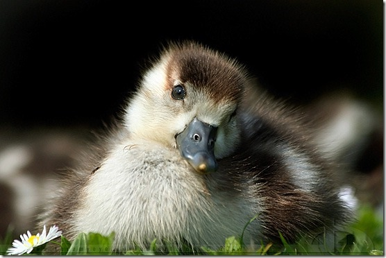 Duckling-Adorable Baby Animals