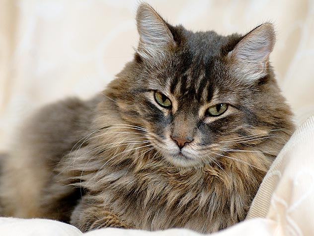 Cat-Best Animals For Pets