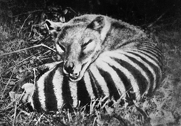 Thylacine-Extinct Animals That Science Could Bring Back From The Dead