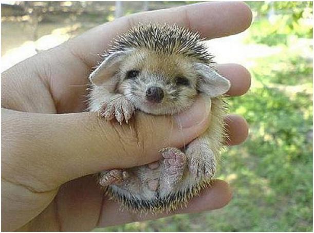 Baby Hedgehog-Cutest Animals Ever