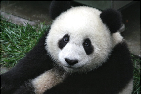 Giant Pandas Are Endangered-Amazing Facts About Pandas