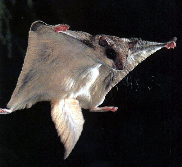 Flying squirrel-Flying Animals Which Are Not Birds