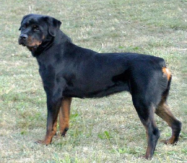 Rottweiler-Most Aggressive Dog Breeds