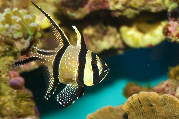 Banggai Cardinal-Most Beautiful Fishes