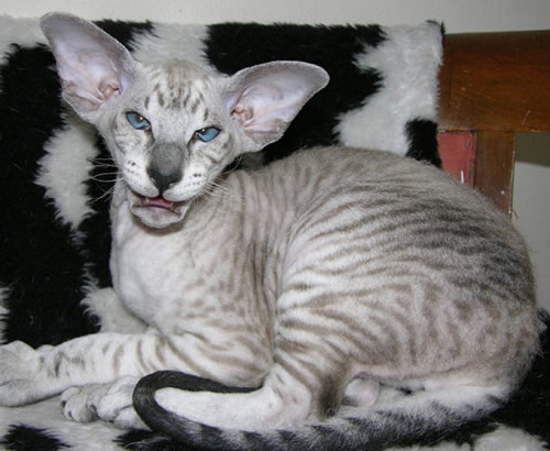 What big ears you have-Ugliest Cats Ever