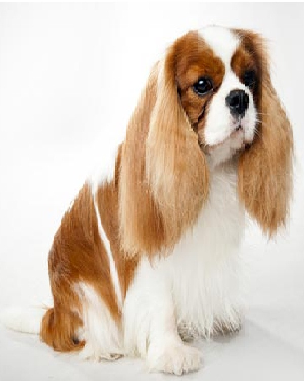 Cavalier King Charles Spaniel-Most Expensive Dogs In The World