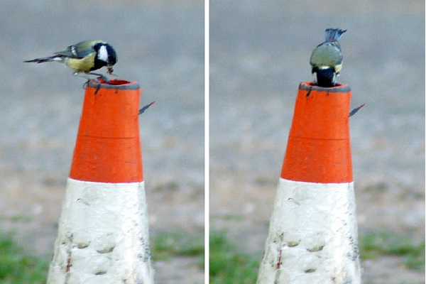 In A Street Cone-Most Unusual Places For A Bird's Nest