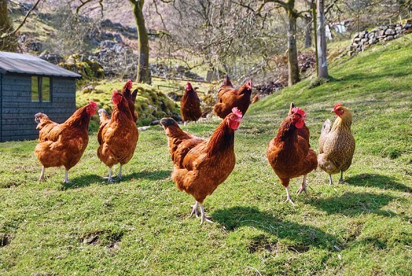 Chickens-Craziest Lottery Stories