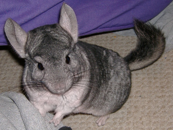 Chinchilla-Unusual Pets That Are Legal To Own