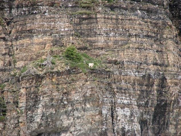 Help!!-Photos Of Goats On Cliffs