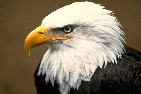 Eagle - Extrovert, Sensing, Thinking, Perceiving (ESTP)-Know What Animal You Are Through Personality Test