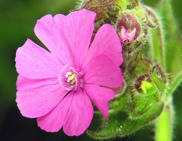 Campion (Silene Tomentosa)-Extremely Rare Flowers