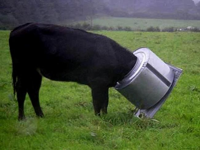 A curious cow-Funny Animals Stuck In Objects