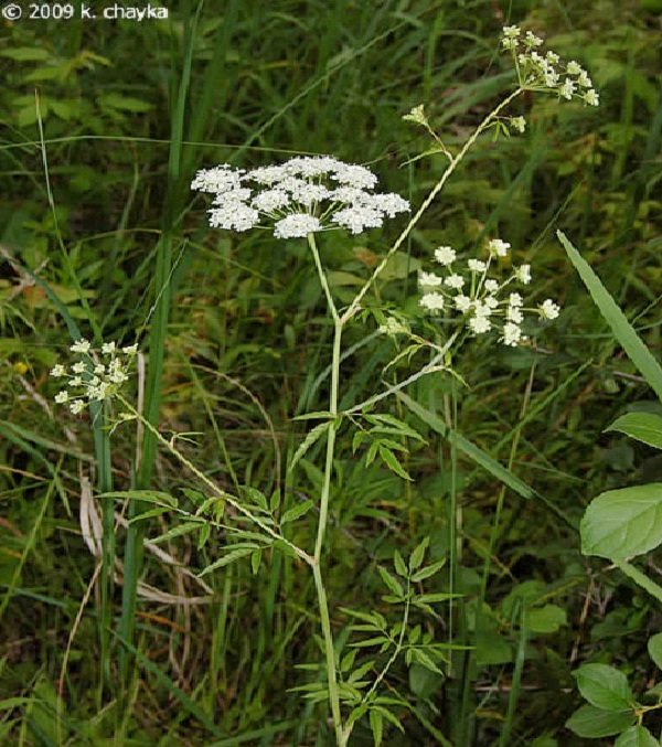 Water Hemloc-Common But Deadly Plants