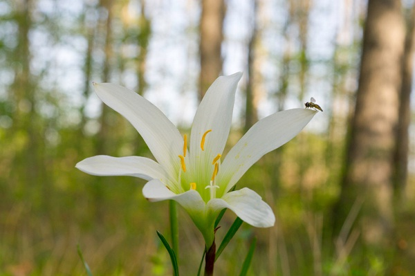 Wild lily-Most Beautiful Flowers In The World