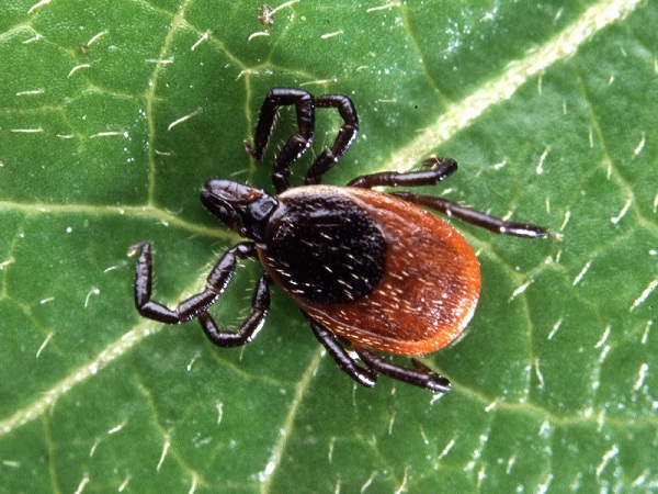 Deer tick-Most Dangerous Insects