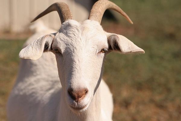 Goat cheese cashew caramel-Bizarre Ice Cream Flavors