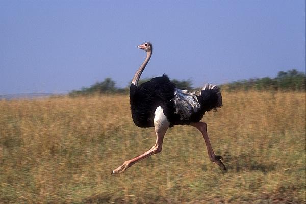 Ostrich-Weird Facts About Animals