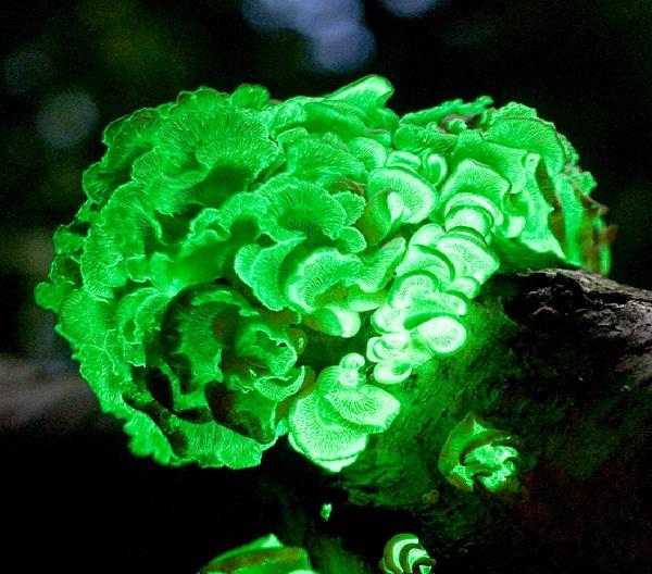 Panellus Stipticus-Amazing Bioluminescent Organisms