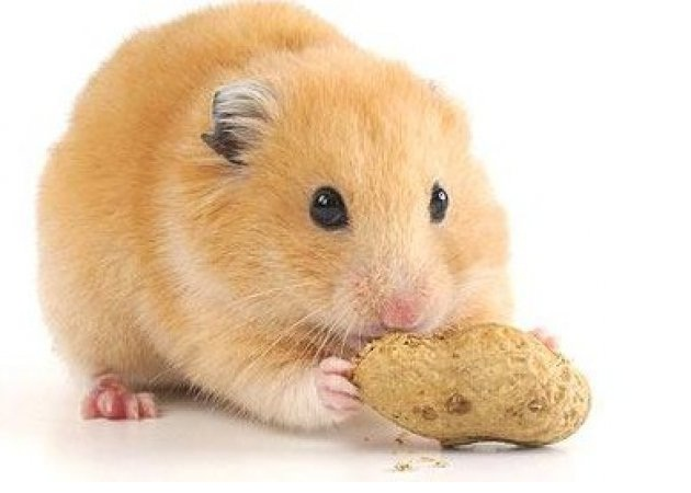 Hamster-Best Animals For Pets