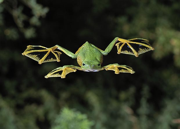 Flying frog-Flying Animals Which Are Not Birds