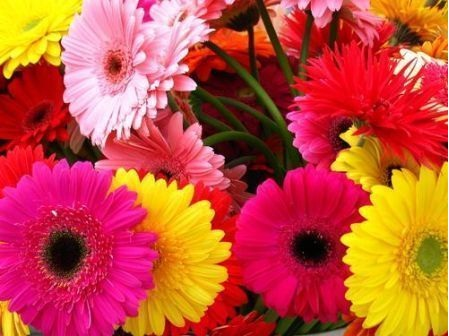 Gerbera-Most Beautiful Flowers In The World