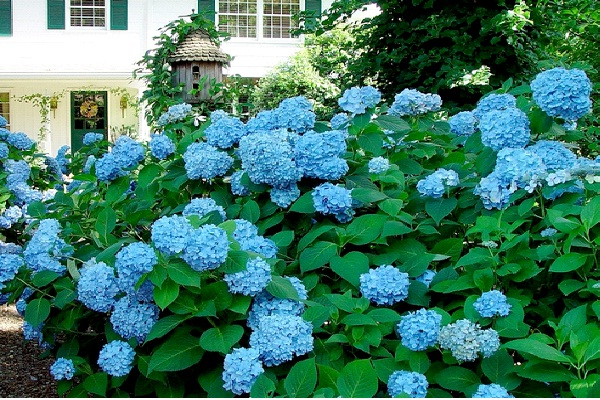 Hydrangea-Common But Deadly Plants