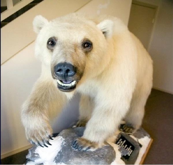 Grolar Bear-Coolest Hybrid Animals