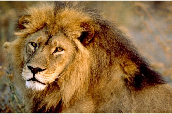 Lion - Extrovert, Intuitive, Thinking, Judging (ENTJ)-Know What Animal You Are Through Personality Test