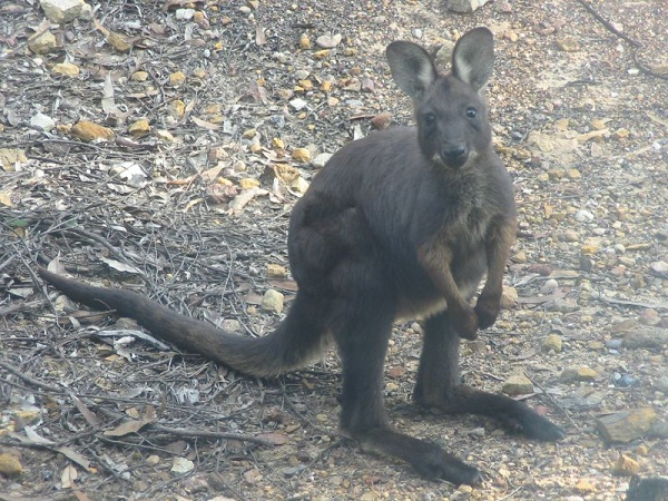 Wallaroo-Unusual Pets That Are Legal To Own