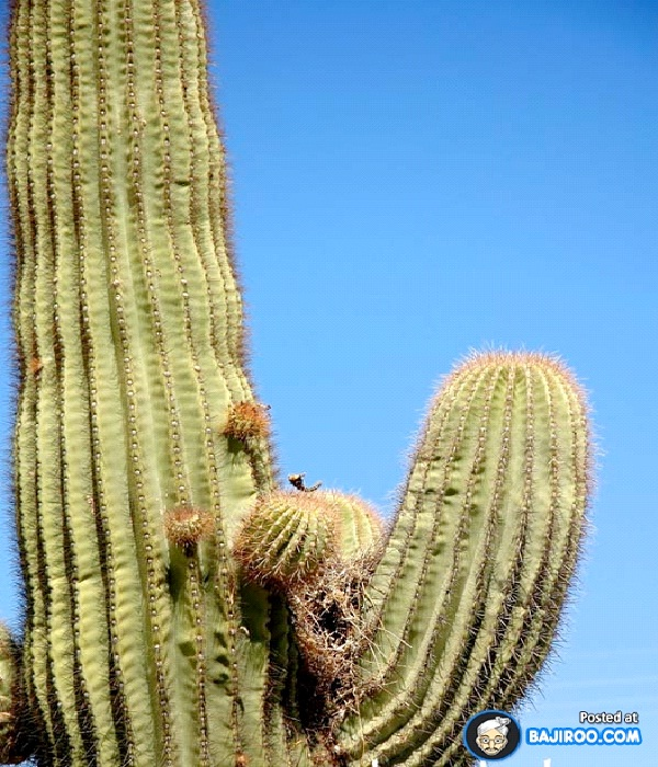 On A Cactus-Most Unusual Places For A Bird's Nest