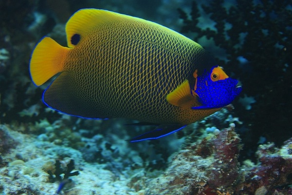 Blueface Anglefish-Most Beautiful Fishes